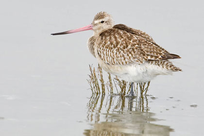 Bar-tailed Godwit Picture @ Kiwifoto.com