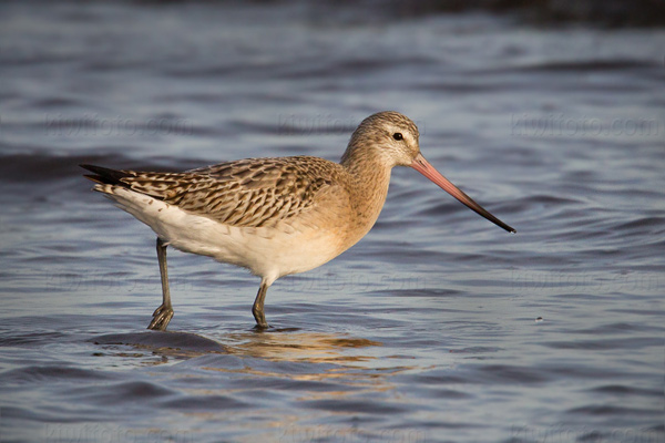 Bar-tailed Godwit Photo @ Kiwifoto.com