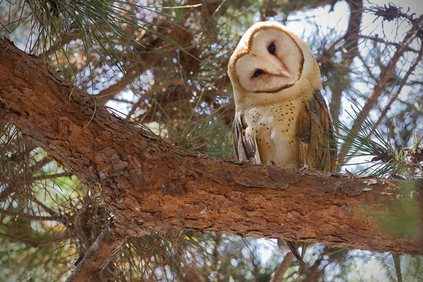 Barn Owl Photo @ Kiwifoto.com