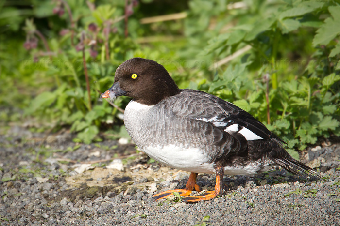 Barrow's Goldeneye Picture @ Kiwifoto.com