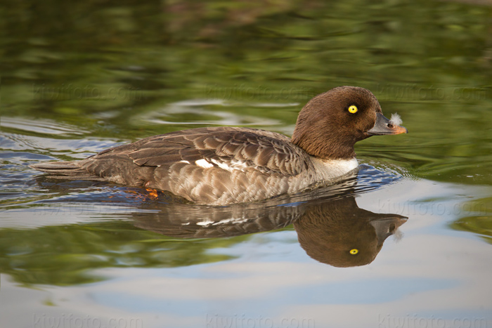 Barrow's Goldeneye Photo @ Kiwifoto.com