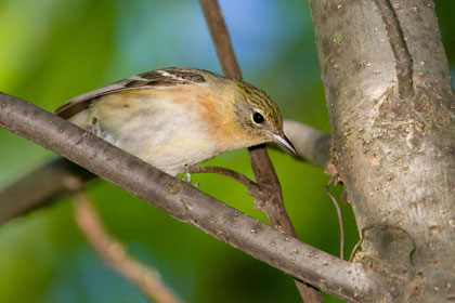 Bay-breasted Warbler Picture @ Kiwifoto.com