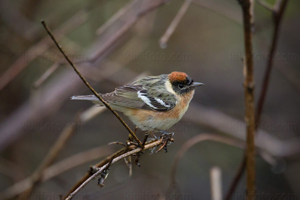 Bay-breasted Warbler Photo @ Kiwifoto.com