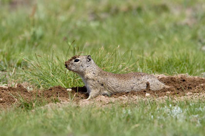 Belding's Ground Squirrel Photo @ Kiwifoto.com