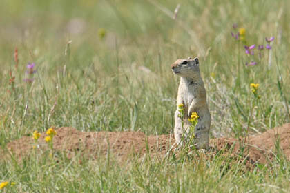 Belding's Ground Squirrel Picture @ Kiwifoto.com