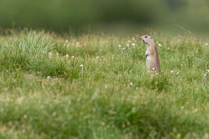 Belding's Ground Squirrel Image @ Kiwifoto.com