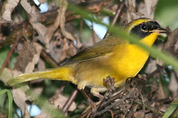 Belding's Yellowthroat Picture @ Kiwifoto.com