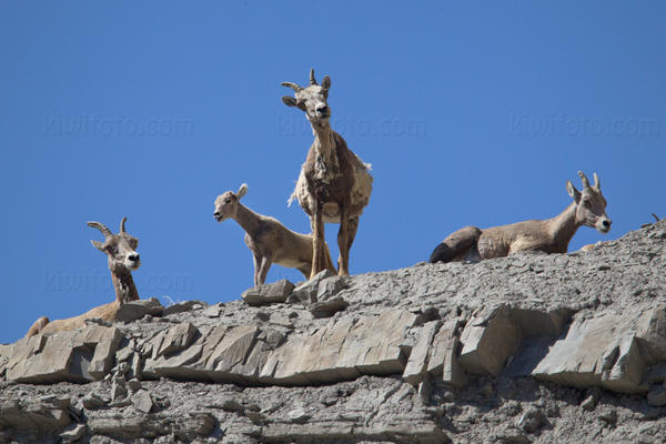 Bighorn Sheep Photo @ Kiwifoto.com