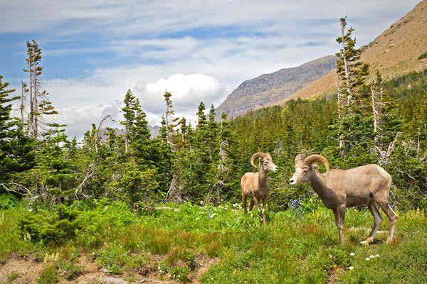 Bighorn Sheep @ Glacier National Park, Montana