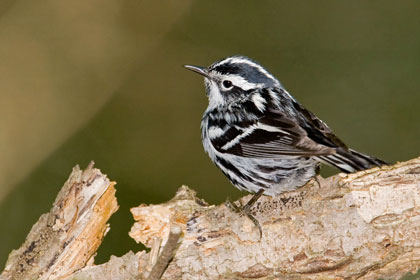 Black-and-white Warbler Image @ Kiwifoto.com