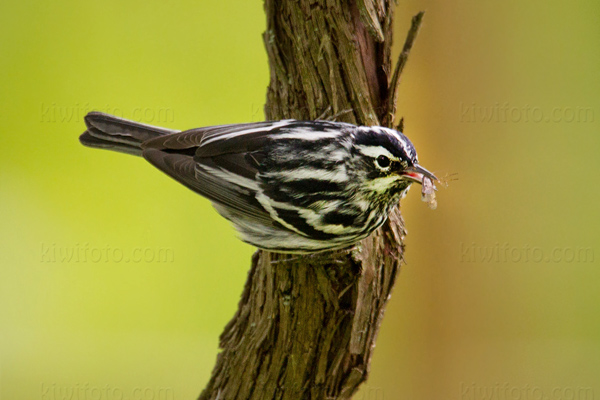 Black-and-white Warbler @ Magee Marsh, OH