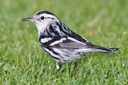 Black-and-white Warbler Photo @ Kiwifoto.com