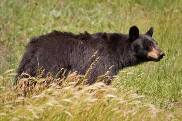 Black Bear @ Yellowstone National Park, Wyoming