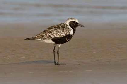 Black-bellied Plover Photo @ Kiwifoto.com