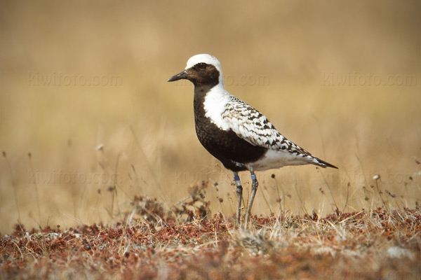 Black-bellied Plover (banded @ Woolley Lagoon in 2009)