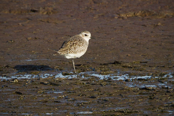 Black-bellied Plover Picture @ Kiwifoto.com