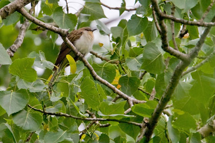 Black-billed Cuckoo Photo @ Kiwifoto.com
