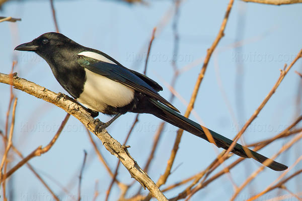 Black-billed Magpie Picture @ Kiwifoto.com