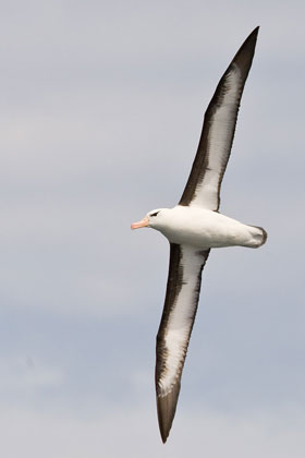 Black-browed Albatross Photo @ Kiwifoto.com