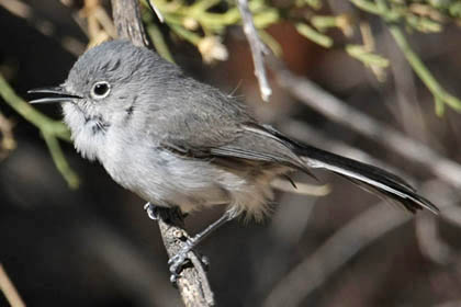 Black-capped Gnatcatcher Image @ Kiwifoto.com