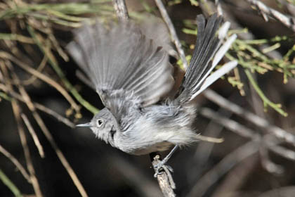 Black-capped Gnatcatcher Photo @ Kiwifoto.com