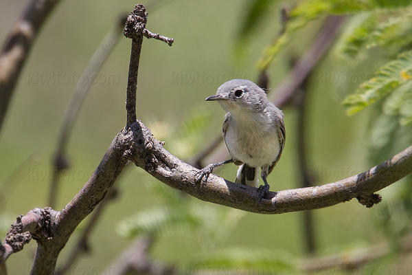Black-capped Gnatcatcher @ Montosa Canyon, AZ