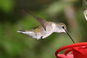 Black-chinned Hummingbird Photo @ Kiwifoto.com