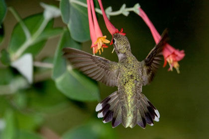 Black-chinned Hummingbird Image @ Kiwifoto.com