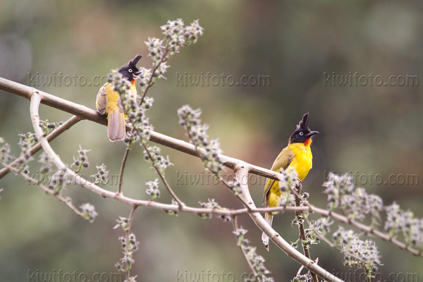 Black-crested Bulbul Photo @ Kiwifoto.com