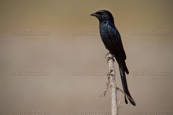 Black Drongo Photo @ Kiwifoto.com