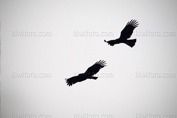 Black Eagle Photo @ Kiwifoto.com