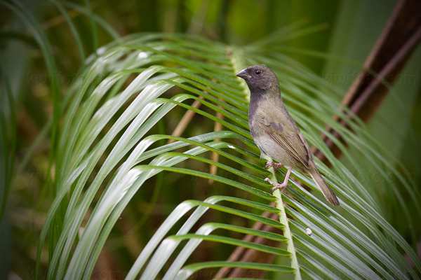 Black-faced Grassquit Picture @ Kiwifoto.com