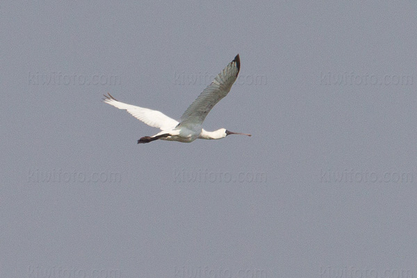 Black-faced Spoonbill Image @ Kiwifoto.com