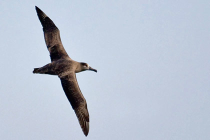 Black-footed Albatross Photo @ Kiwifoto.com