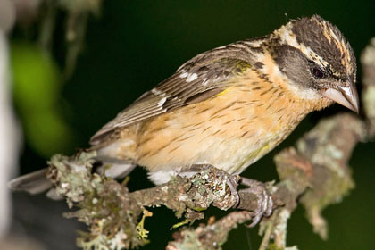 Black-headed Grosbeak Image @ Kiwifoto.com