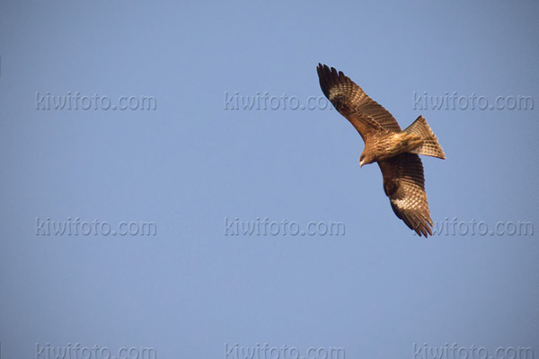 Black Kite Picture @ Kiwifoto.com