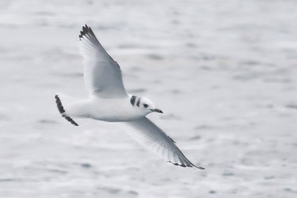 Black-legged Kittiwake (1st winter juvenile)