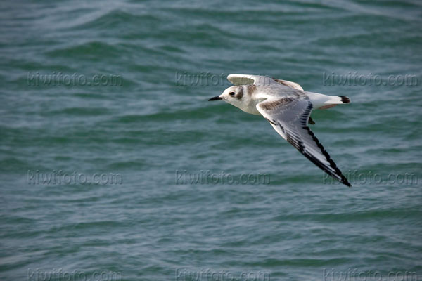 Black-legged Kittiwake Picture @ Kiwifoto.com