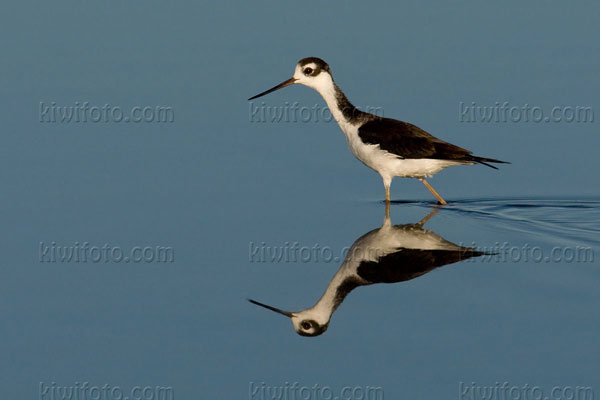 Black-necked Stilt Picture @ Kiwifoto.com