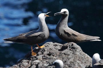 Black Noddy Photo @ Kiwifoto.com