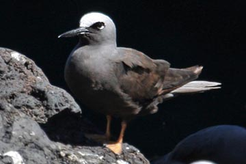 Black Noddy Picture @ Kiwifoto.com
