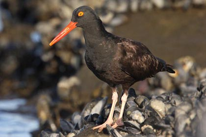 Black Oystercatcher Photo @ Kiwifoto.com