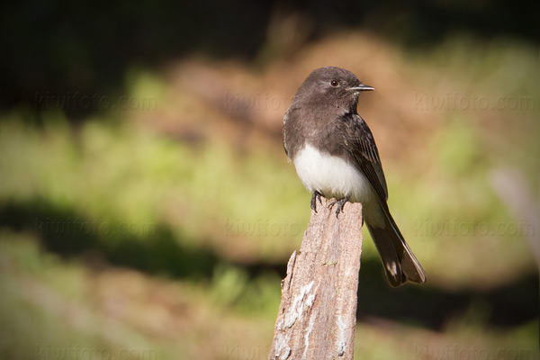 Black Phoebe Photo @ Kiwifoto.com