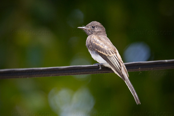Black Phoebe (Hatch Year)