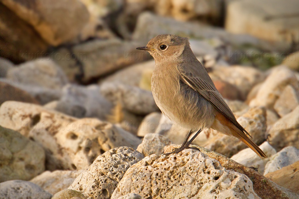 Black Redstart Picture @ Kiwifoto.com