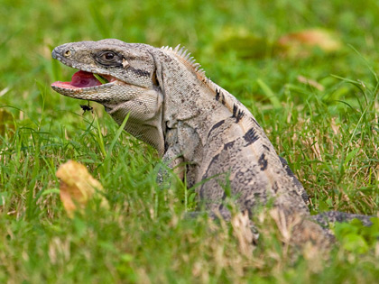 Black Spiny-tailed Iguana Picture @ Kiwifoto.com