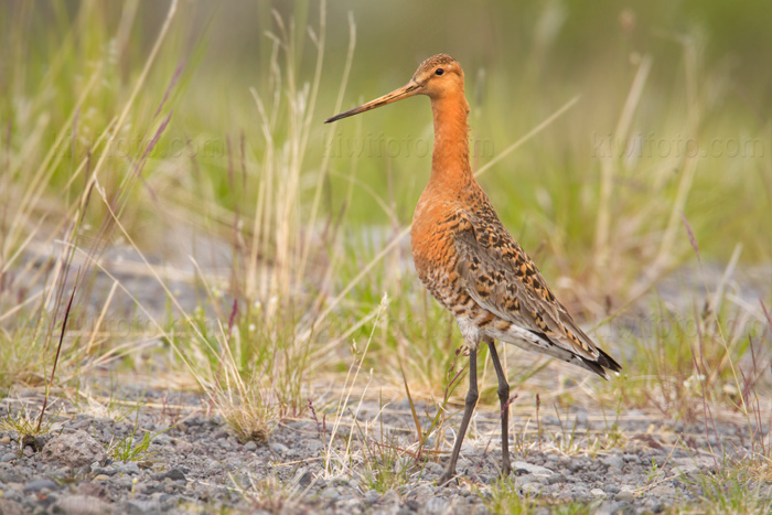 Black-tailed Godwit Photo @ Kiwifoto.com