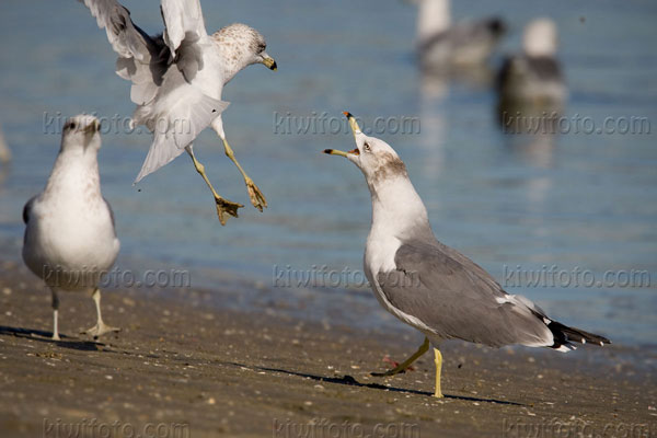 Black-tailed Gull Photo @ Kiwifoto.com