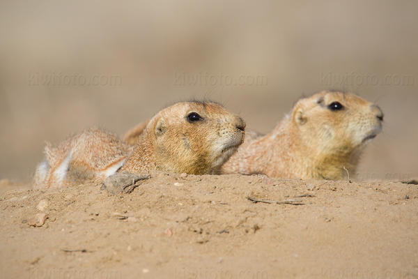 Black-tailed Prairie Dog Picture @ Kiwifoto.com