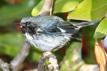 Black-throated Blue Warbler Photo @ Kiwifoto.com